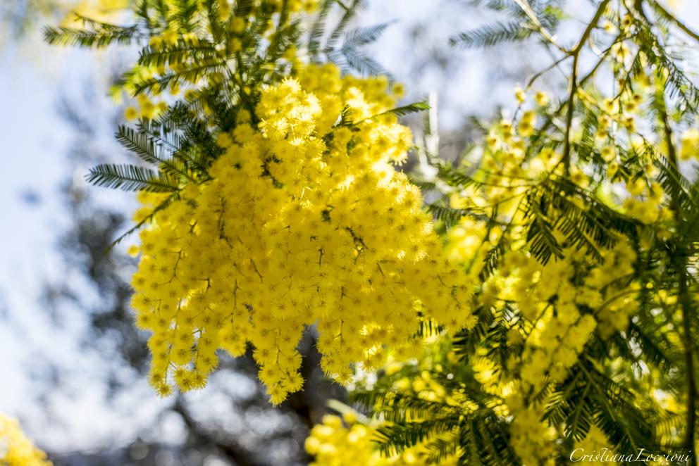 mimose in fiore